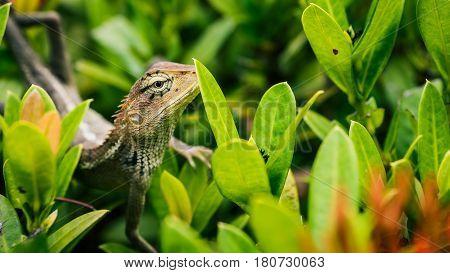 Oriental garden lizard on green leaves in Thailand.