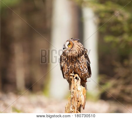 Long-eares owl siting on stump in forest - Asio otus