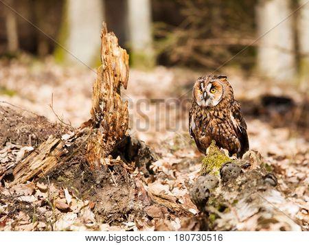 Long-eared owl resting on stump - Strix otus