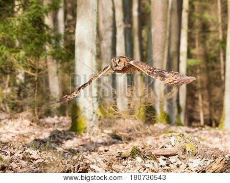 Portrait of long-eared owl with spreaded wings out - Asio otus