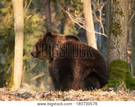 Ursus arctos - Euraian brown bear in forest on spring