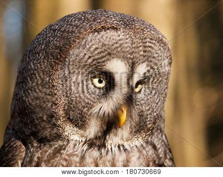 Portrait of one of largest owl - Great grey owl - Strix nebulosa