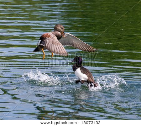 Gadwall and Tufted Duck fight.