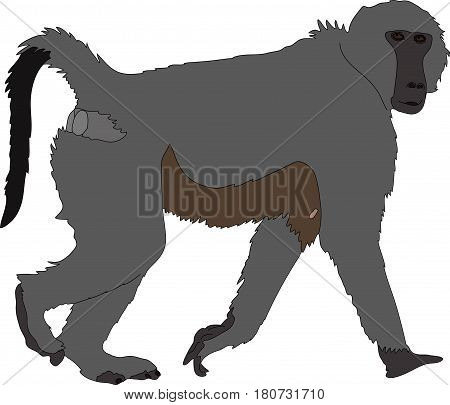 hand drawn portrait of a wild  baboon - colored vector Illustration isolated on white background