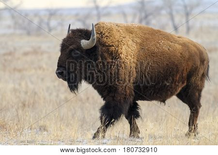 Wild American Bison on the high plains of Colorado.