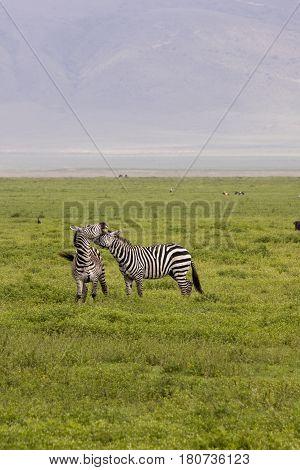 Zebra Fighting In Field, Ngorongoro Crater, Tanzania