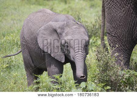 Young elephant calf grazing in Ngorongoro Crater Tanzania Africa.
