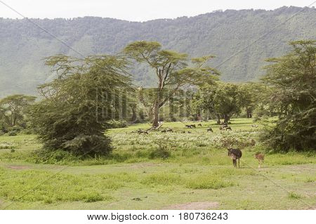 Landscape in Ngorongoro Crater Tanzania Africa with wildebeest and acacia trees.