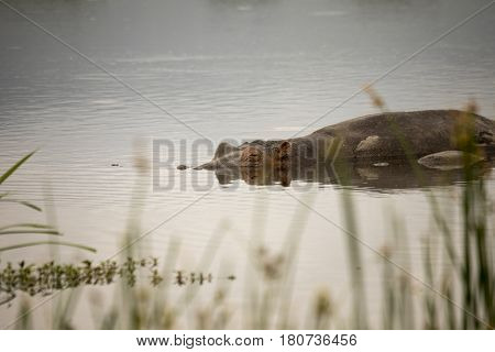 Submerged Hippo In Pool, Ngorongoro Crater, Tanzania