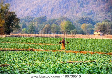 Tobacco Plantations At The Village Of Ban Kong On Laos