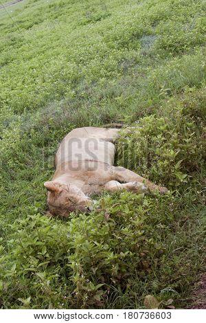 Sleeping Lioness, Ngorongoro Crater, Tanzania