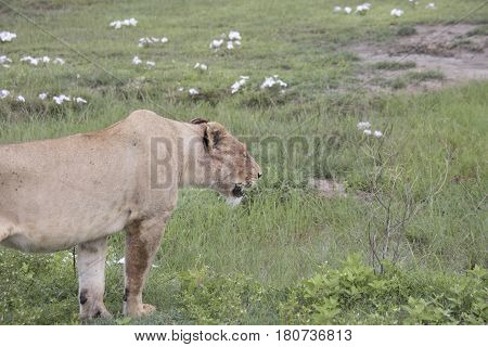 Panting Lioness, Ngorongoro Crater, Tanzania