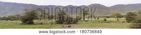 Panorama Of Wildebeest In Meadow, Ngorongoro Crater, Tanzania