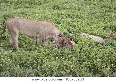 Lionesses Nuzzling, Ngorongoro Crater, Tanzania