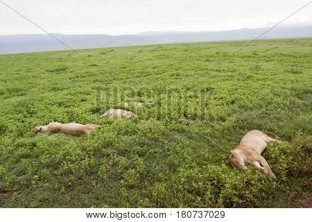 Lioness Sleeping In Field, Ngorongoro Crater, Tanzania