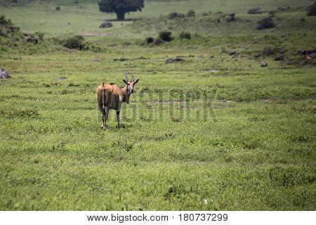 Female Eland, Ngorongoro Crater, Tanzania
