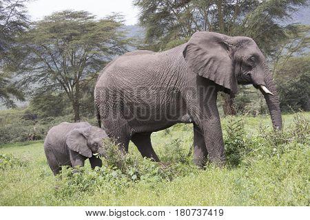 Elephant Calf With Adult, Ngorongoro Crater, Tanzania
