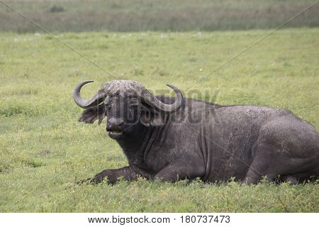 Cape Buffalo, Ngorongoro Crater, Tanzania