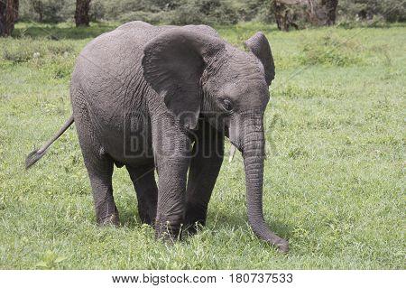 Baby Elephant, Ngorongoro Crater, Tanzania