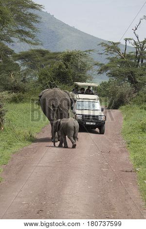 Ngorongoro Conservation Area Tanzania - March 9 2017 : Safari vehicle encounter with adult elephant and calf in Ngorongoro Crater Tanzania Africa.