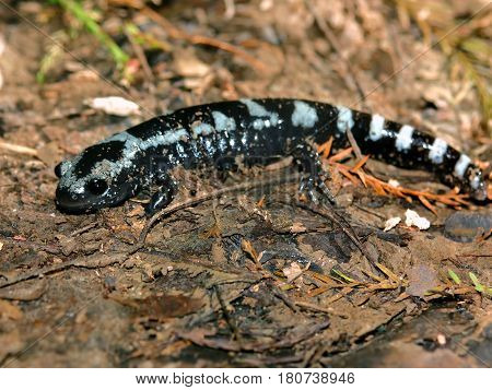 Marbled Salamanders (Ambystoma opacum) have striking patterns and can be found throughout the eastern and southern United States
