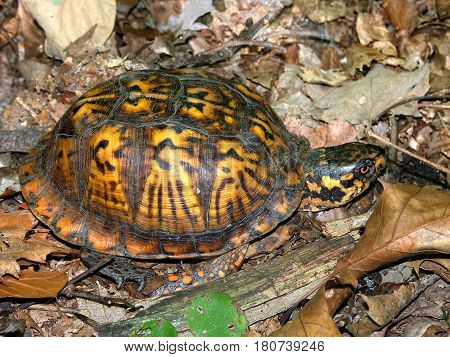 Box Turtle wandering in an Illinois forest