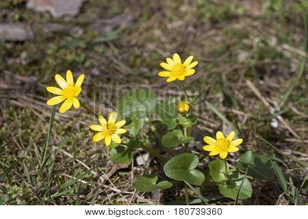 Spring cleaner (Ficaria verna). Spring forest yellow flowers