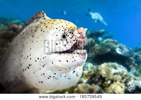 White moray eel - with coral reef