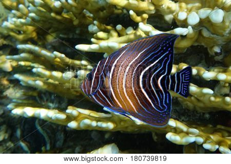 Halfcircled or Koran Angelfish - coral fish.