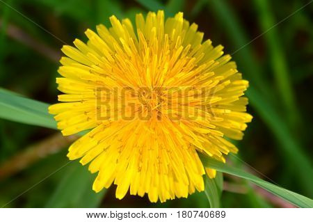 Bright yellow dandelion flower in bloom in northern Illinois