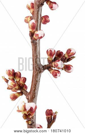 Apricot buds on a branch close-up isolated on white background.