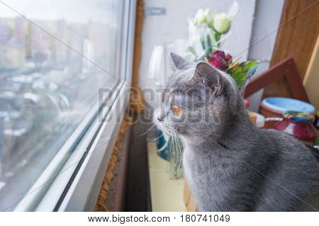Beautiful surprised grey cat sitting on windowsill and looking out of a window