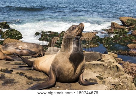 Sea Lion -  family seal on the beach, La Jolla, California.