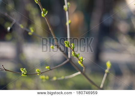 The First Spring Gentle Leaves, Buds And Branches Macro Background, Young Branches With Leaves And B