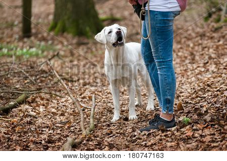 young woman and labrador retriever dog puppy during the training - waiting for the reward