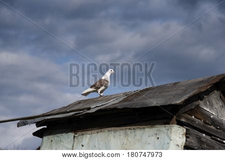 Pigeon Is On The Roof Of Dovecote, Against A Beautiful Sky