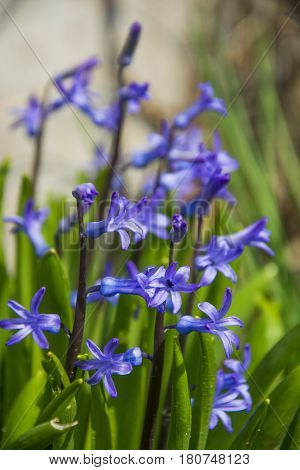 Scilla. Ladoňka. Nice purple flower in sunlight. Spring garden. Hyacinthoides. Small violet petals in green grass