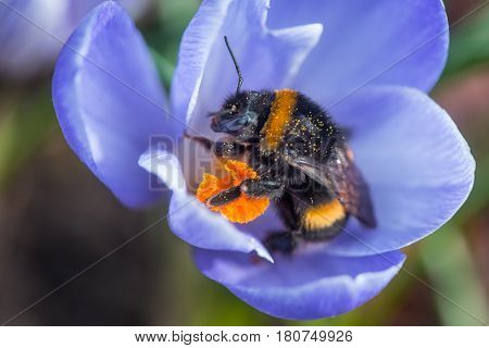 Bumblebee after hibernation collects pollen on the first flowers in the garden