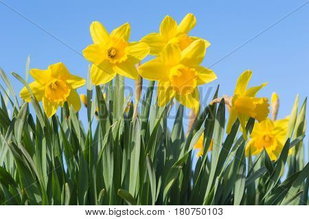 Sunny Spring Glade With Beautiful Yellow Narcissus Flowers