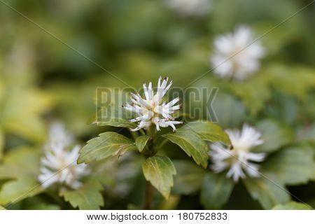 Flowers of Japanese pachysandra (Pachysandra terminalis) bush.
