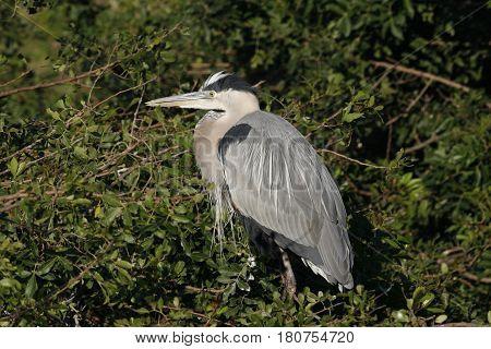 A Great Blue Heron, Ardea herodias in breeding plumage in a Florida rookery