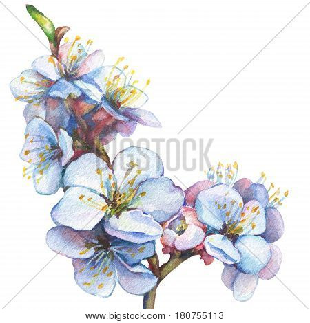 Illustration of apricot branch with flowers. Hand drawn watercolor painting on white background.