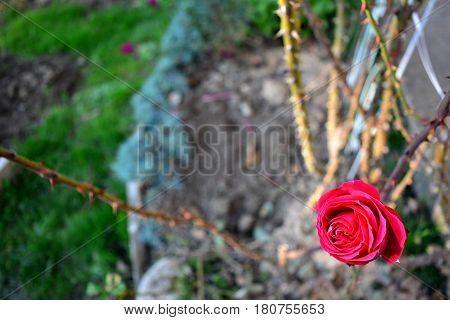 lonely pink rose, beautiful but can hurt