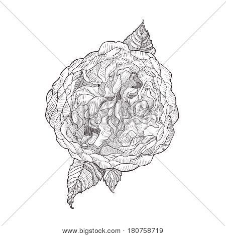 Austin rose pink flower isolated on white background. Hand drawn hatching engraved drawing. Botanical vector illustration.