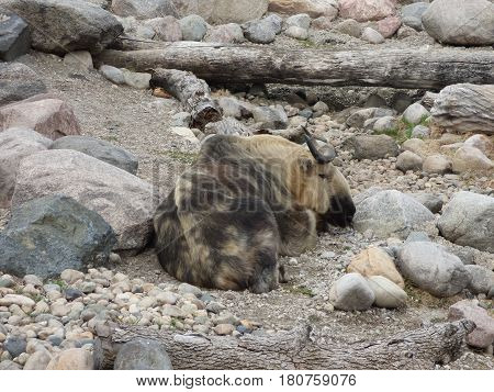 A Sichuan Takin resting among the rocks. They are related  to the goat and sheep family of animals. They are found in mountains in china.