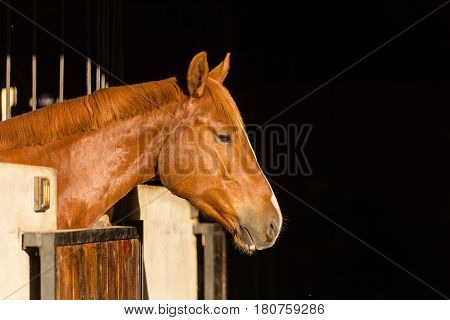 Close Up Of A Horse In Its Stable On A Horse Stud Farm