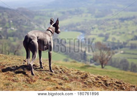 Whippet dog portrait in nature looking across the fields into the distance