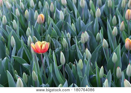 Red And Yellow Lonly Tulip