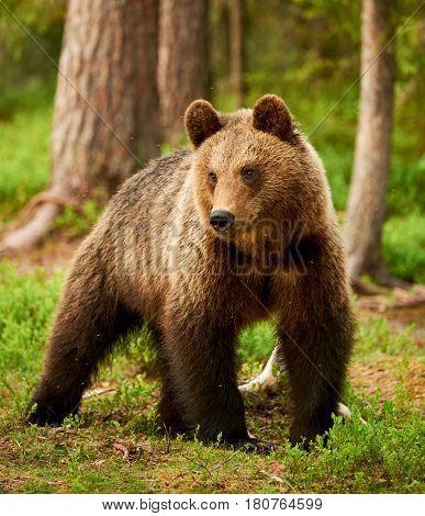 Wild brown bear walking in the green finnish taiga