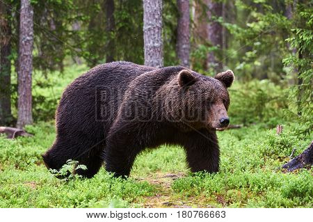 A large brown bear walking in the boreal forest